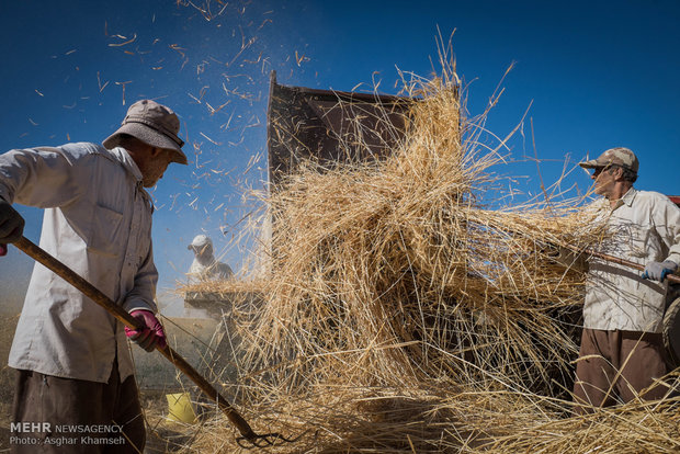 دولت پول گندمکاران کردستانی را نداد/ افت ۵۰ درصدی تولید