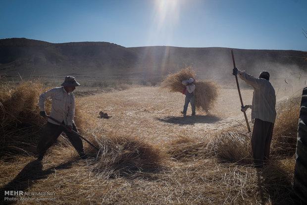 """حصاد الحنطة في قرية """"سُه"""" التاريخية"""