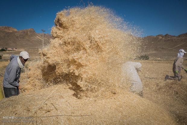 یک مقام مسئول اعلام کرد؛ خریداری 60 هزار تن گندم از کشاورزان/زیرساخت عرضه در بورس فراهم نیست