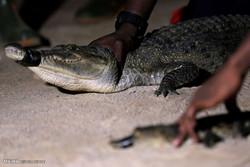 آئیوری کوسٹ میں مگرمچرچھ  کا شکار