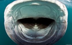 Whale shark/ photo by David Robinson