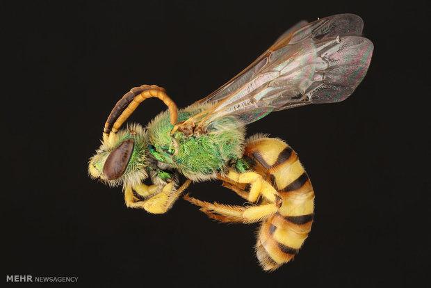 تصاویری از زنبورها با لنز ماکرو