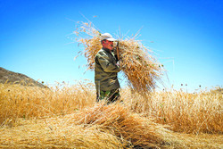 Tradition wheat reaping