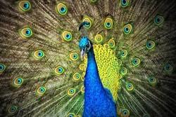 طاووس - کراپشده
