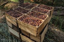 خرید خرمای استعمران از مرز ۱۰ هزار تن گذشت