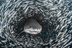 عبور کوسه ها از میان تونل ماهی ها