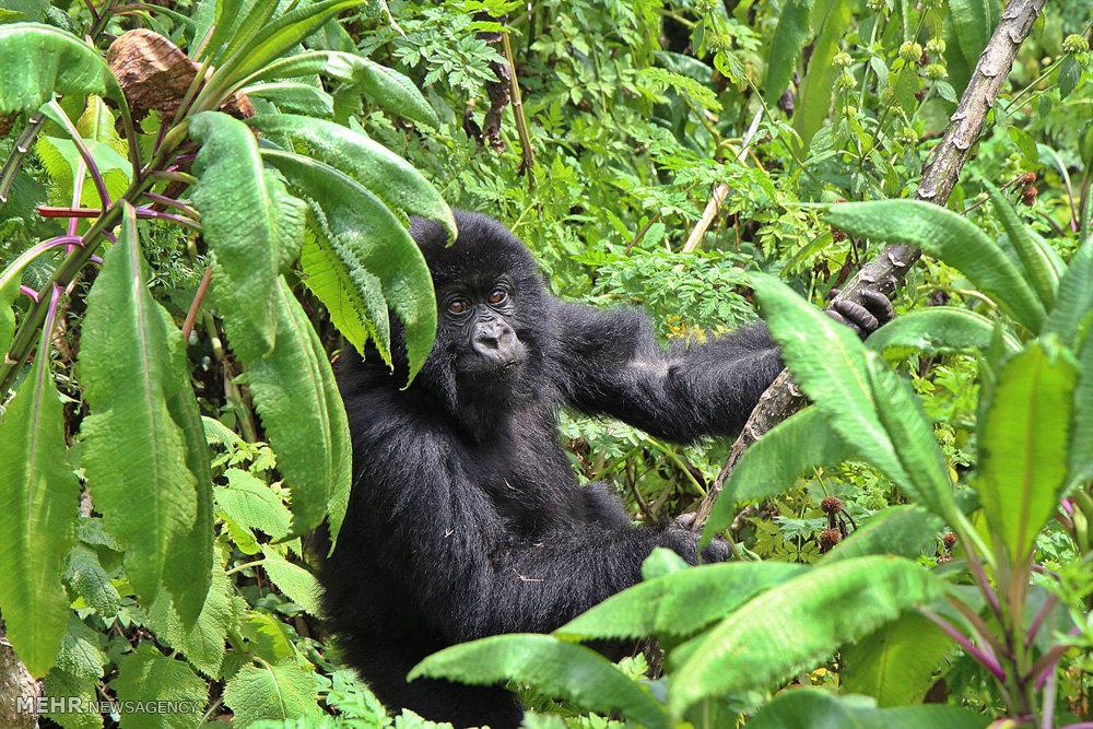 گوریل های رواندا