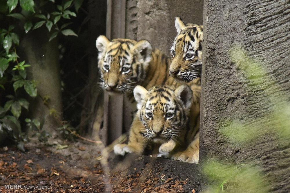 توله ببرهای باغ وحش هامبورگ