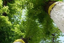 آفت زدایی درختان نارون
