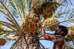 Dates harvest season in hot summer