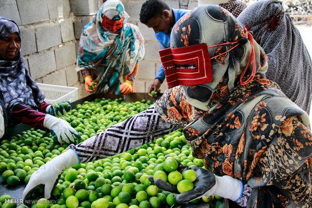 """مهرجان الليمون بمدينة """"رودان"""" جنوبي إيران"""