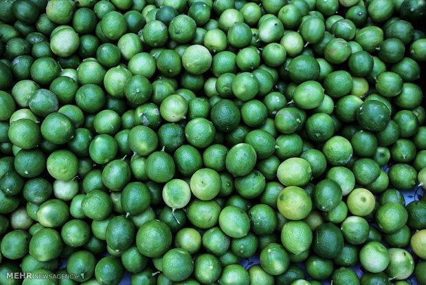 بیش از ۹ هزار تن لیمو ترش در سیستان و بلوچستان برداشت شد