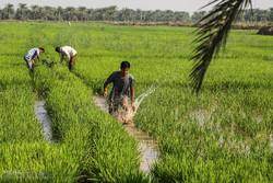 نشاء برنج در شهرستان کارون