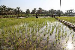کاهش ۳۵ درصدی مصرف آب حوزه کشاورزی مازندران با آبیاری تناوبی