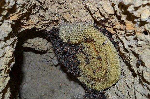 زنبور عسل - کراپشده