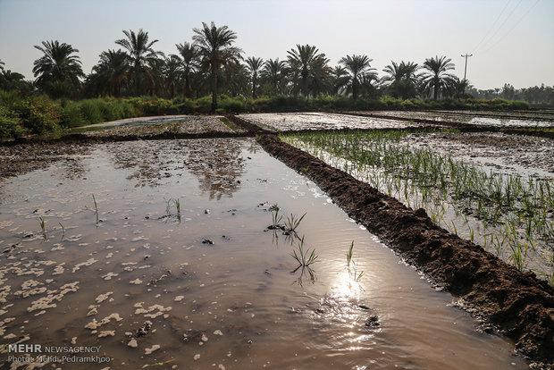 اجرای مصوبه ستاد خشکسالی از سوی کشاورزان خوزستان ممکن نیست