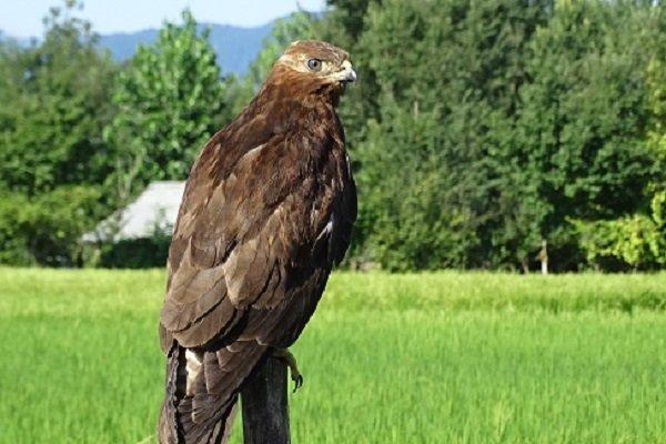 عقاب تالابی - کراپشده