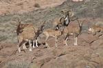 برنامه سرشماری وحوش در جزایر پارک ملی دریاچه ارومیه اجرا شد