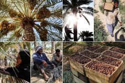 تلخکامی کشاورزان تمامی ندارد/ سود کشاورزی به جیب چه کسانی میرود؟