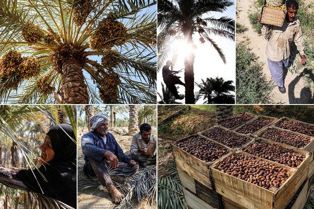 سهم کشاورز از فروش خرما ۱۵ درصد است/ دست دلالان در جیب نخلداران