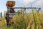 برداشت برنج از ۵۰ درصد شالیزارهای شهرستان صومعه سرا