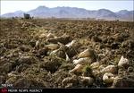 ۱۳۵ هزار تن محصول چغندرقند در اسدآباد برداشت شده است