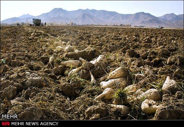 رئیس سازمان جهاد کشاورزی لرستان : کاشت ۳۷۰۰ هکتار چغندر مازاد در لرستان/محصول روی دست کشاورزان ماند