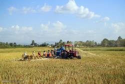 برداشت برنج از شالیزارهای گیلان