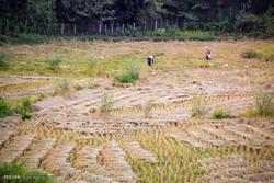 کشت مجدد برنج در ۳۰ هزار هکتار از شالیزارهای آمل
