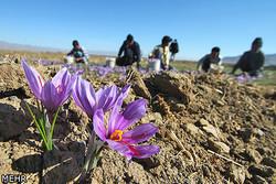 قیمت زعفران به حداقل ۴ میلیون تومان رسید/صادرات ۷۵میلیون دلاری در ۴ماه