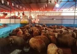 هشدارهای سازمان دامپزشکی در آستانه عید قربان/مردم از ذبح گوسفند در منازل خودداری کنند