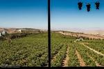 تاکستانهای خراسان شمالی بیبار ازخوشههای «همایش ملی انگور»