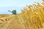 ۶۷ هزار تن گندم در چهارمحال و بختیاری خریداری شد