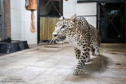 اهمیت ژن پلنگ باغ وحش تهران برای جهان/شیر ایرانی تا دو ماه دیگر به کشور میآید