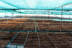 تولید نشاء محصولات کشاورزی در هشت بندی