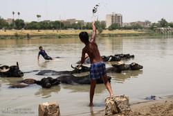جواميس الماء واطفال يلعبون في نهر كارون