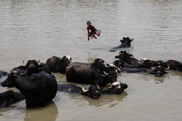 جواميس الماء في نهر كارون