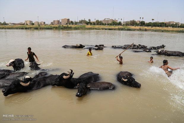 جواميس الماء في نهر كارونا؛ همبازی کودکان کارون