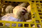 جمع آوری روزانه ۸۰۰ تن مرغ مازاد از بازار/ خرید تا متعادل شدن قیمتها ادامه دارد
