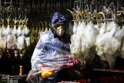 ۳۰ ناظر شرعی در کشتارگاههای استان البرز فعالیت میکنند