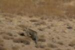 مشاهده پلنگ در ارتفاعات فیروزکوه/ فیلم