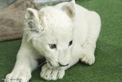 بچه شیر سفید باغ وحش هویزه به علت مشکلات تغذیه تلف شد