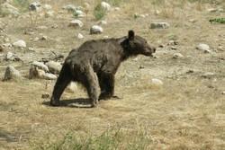 فصل تازه در سریال پنهانکاری محیط زیست گلستان/ هیچ کس از ضرب و شتم خرس خبر نداشت