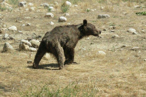 خرس - کراپشده