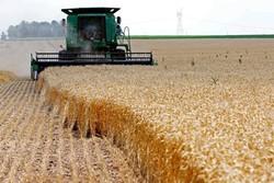 تولید گندم در چهارمحال و بختیاری افزایش می یابد
