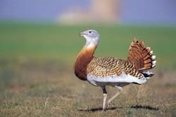 «میش مرغ» در آستانه انقراض/برنامه عمل «چیرگ» تأیید شد