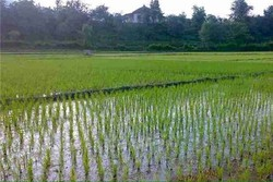 آبیاری کشاورزی - کراپشده