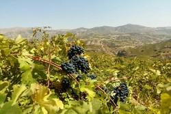 تولید محصول انگور در باغهای ملایر بهصرفه نیست