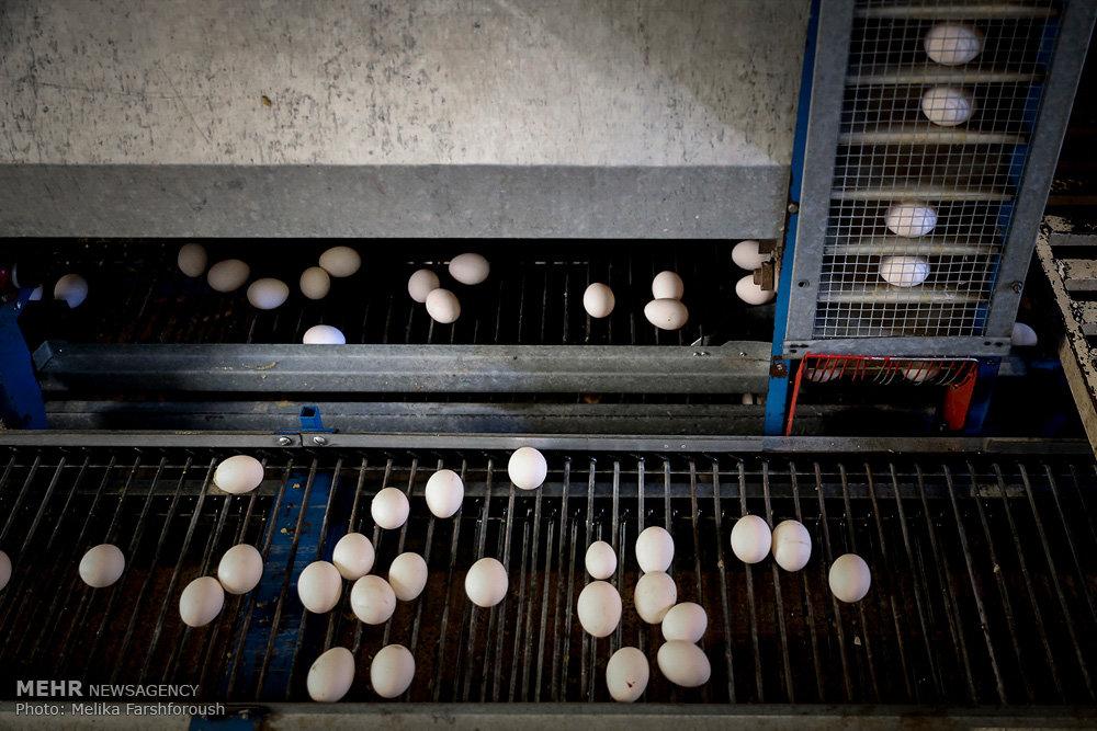 داستان تخم مرغ ها