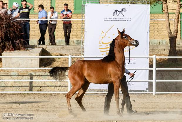 İran'da Arap Atı Festivali
